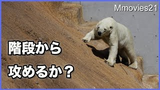 Download 崖登り頑張るリラ 授乳中に震えるララ Polar Bears Video