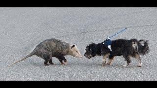 Download opossum vs dog Video