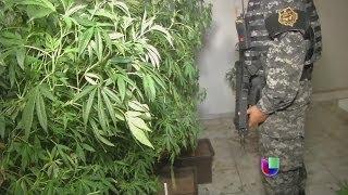 Download Descubren cosechas de marihuana hidropónica en México - Noticiero Univisión Video