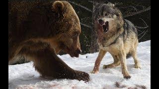 Download 곰 vs 늑대 화난곰 늑대를 죽이다 bear vs wolf fight to death Video