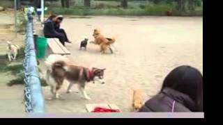 Download At the Dog Park: Red Alert Behavior Series: Tail Tucked Plus Risks to Small Dogs Video