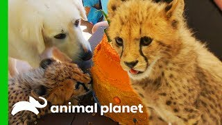 Download Cheetah Cubs Meet Their New Dog Best Friend! | The Zoo: San Diego Video