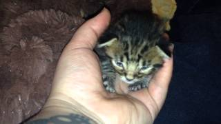 Download Tiny baby kitten crying Video