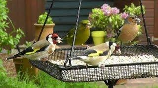 Download Greenfinch Siskin Goldfinch Bullfinch & Chaffinch on My Bird Feeder Video