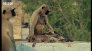 Download New leader kills monkey babies - Monkey Warriors - BBC animals Video