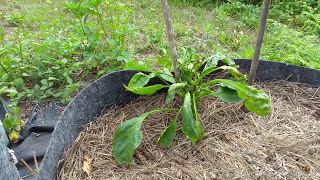 Download How NOT to Water Peppers - Garden Walk-Through April 2016 Video