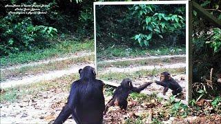 Download Baby chimp : learn of mirror progress - Au Gabon, un bébé chimpanzé apprend les propriétés du miroir Video