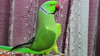 Download How my Parrot wake me up-Beautiful bird Video