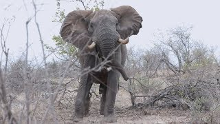 Download Big Elephant bull encounter on foot in Africa Video