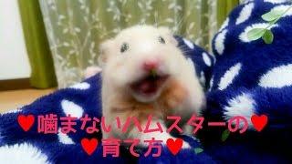 Download ハムスターの噛み癖のなおし方!噛まない飼い方!おもしろ可愛いハムスターHow to bring up the hamster which isn't bitten Video