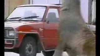 Download Walrus/Elephant Seal Smashes Into Cars Video
