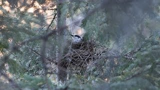 Download Decline of Gray Jays in Algonquin Provincial Park Video