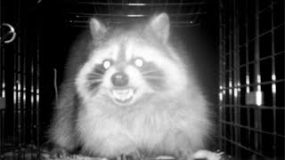 Download EVIL Raccoon ESCAPES from Trap! This is WAR! Video