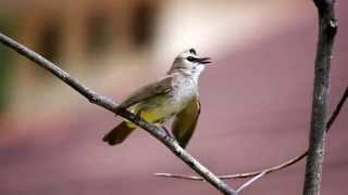 Download YELLOW VENTED BULBUL Video