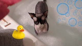 Download How To Care For Your Sphynx Cat! Video