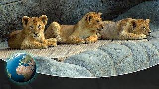 Download Cute & curious little fur friends - Toys for the four lion cubs Video