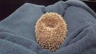 Download hedgehog ball Video