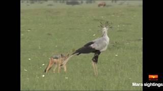 Download jackal vs secretary bird face off. Video