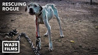 Download Pit Bull Starved on Heavy Chain Rescued by Pit Crew! Rescuing Rogue - Hope For Dogs | My DoDo Video