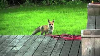 Download What the Fox ACTUALLY Says (The Scream of a Fox) Video