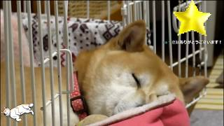Download 柴犬小春 LIVE Video