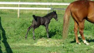 Download Baby Horse at 1 week old has a looooong pee! Video