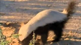 Download A Honey Badger And Her Cub (Not Recommended For Mobile Playback) Video