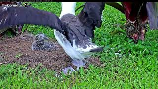 Download Namaka Stretches Wings While Checking On Her Chick – Feb 13, 2018 Video