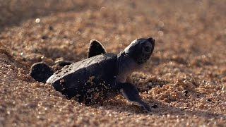 Download Green Turtle's Battle For Survival | Planet Earth | BBC Earth Video