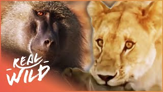Download Monkey Hunters [Baboons VS Lions Documentary] | Real Wild Video