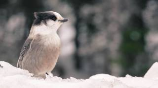 Download The Gray Jay - Canada's National Bird Video