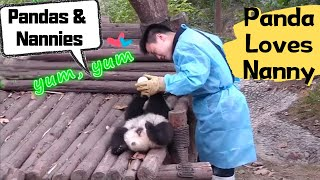 Download Panda Cubs' Life with Zookeepers   iPanda Video