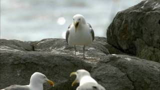 Download How Nature Works: Gull Territoriality Video