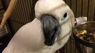 Download Hungry Bird Umbrella Cockatoo Joseph😍😍😍 Video