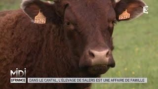 Download ANIMAUX : Dans le Cantal, l'élevage de Salers est une affaire de famille Video