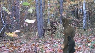 Download Mother And Baby Bigfoot Wailed, Thought Hunter In Ghillie Suit Was One of Them Video