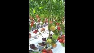 Download Uprawa pomidorów w żwirze Video