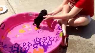 Download Luna the baby pug's first time in the pool ❤️ Video