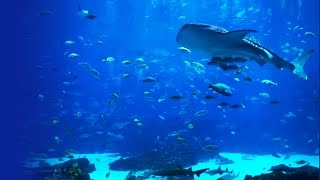 Download Beautiful HD Aquarium Video - Georgia Aquarium (Ocean Voyager I) Video