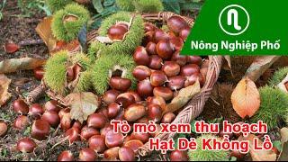 Download Tò Mò xem thu hoạch Hạt Dẻ Khổng Lồ Video