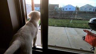 Download 강아지에게 마당 문을 열어주었더니..? | 골든 리트리버 관찰 카메라 Video