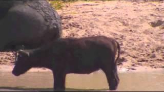 Download The lone little Buffalo Calf at Djuma Jan 25, 2015 Video