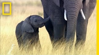 Download Why Elephants May Go Extinct in Your Lifetime | National Geographic Video