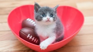 Download Meet Small Fry, The Tiniest Kitten Video