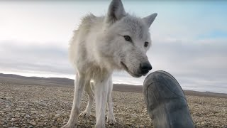 Download Dangerously Close To Wolves - Snow Wolf Family And Me - BBC Video