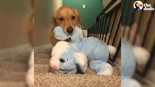 Download Dog Takes Favorite Toys To Bed Every Night | The Dodo Video