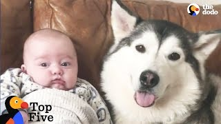 Download Husky Dog Loves His New Baby Brother + Other Awesome Animal Bros | The Dodo Top 5 Video