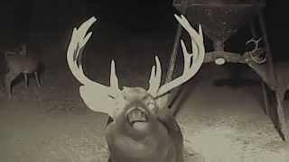 Download Crush Deer Cam LIVE! - Wolverine Returns v 1015 10 18 Video