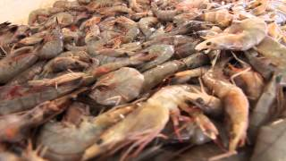 Download Behind the Scenes: The Gulf Coast Shrimp Industry Video