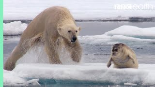 Download Hungry Polar Bear Ambushes Seal - The Hunt - BBC Earth Video